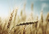 foto of fall-wheat  - golden wheat field and sunny day - JPG