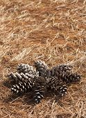 picture of pine-needle  - Pine cone shaped in a sun on a needle stack - JPG
