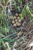 stock photo of pheasant  - Pheasant nest in the green grass. Tuscany, Italy ** Note: Visible grain at 100%, best at smaller sizes - JPG