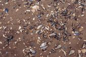 image of clam  - Many clam shells on a sand beach