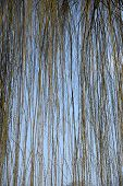 stock photo of weeping willow tree  - Detail of hanging shoots of a weeping willow - JPG