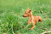 picture of miniature pinscher  - Puppy of Miniature Pinscher playing on green grass in yard - JPG