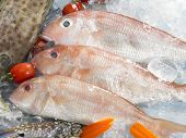 picture of red snapper  - Close up of raw fish red snapper - JPG