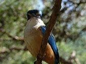 picture of blue winged kookaburra  - the red backed kingfisher is related to the kookaburra family - JPG