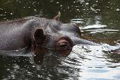 foto of hippopotamus  - Hippopotamus  - JPG