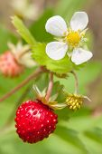 stock photo of strawberry plant  - Wild strawberries plant with green leaves  - JPG
