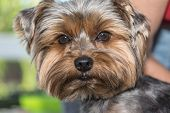 stock photo of yorkshire terrier  - Closeup portrait of the yorkshire terrier - JPG