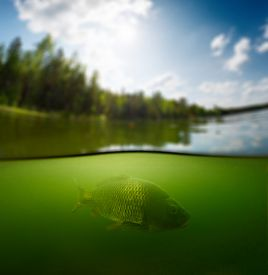 stock photo of bottomless  - Split shot of the freshwater pond with forest above the surface and the fish  - JPG