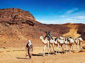 Tuareg cameleer leads camels caravan, Sahara Desert, Algeria