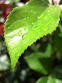 Bright Green Leaf, Growth On Rose Shrub