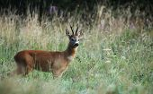 picture of cleaving  - Roebuck  - JPG