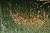 Leopard At Night Masai Mara Kenya