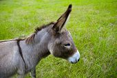 stock photo of jack-ass  - a cute grey brown donkey head with big ears in a green field - JPG