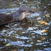 Otter - the cutest european mammal