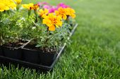stock photo of plant pot  - Market Pack of Marigolds and Impatiens waiting to be planted - JPG