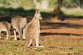 Shunned Kangaroo