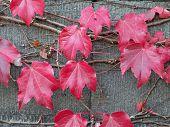 Red Leaves on Old Vine