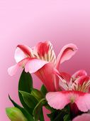 flowers with space on pink background for decoration