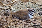 stock photo of killdeer  - Nesting Killdeer bird sits on eggs in sandy gravel at the Cosumnes River wetlands Preserve in California - JPG