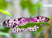 mariposa Rosa sobre una hoja verde