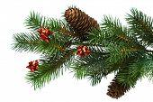 rama del árbol de Navidad en blanco