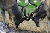 picture of buck teeth  - Two kudu bulls wrestling with horns facing each other - JPG
