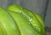 pic of green tree python  - A Green Tree Python coiled on a branch - JPG