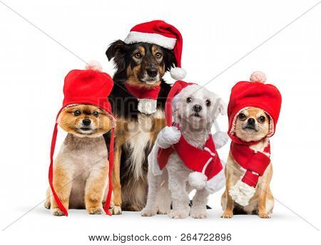 poster of Group of dogs sitting and wearing a red bonnet, Chihuahua wearing christmas hat and scarf, in front