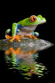 Red-eyed Tree Frog on a Rock mit Wasser besinnung isoliert auf schwarz