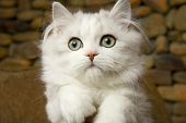 Beautiful Persian cat white kitten with green eyes 03