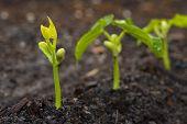 Plantas de ejote bebé primeros planos macro