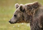 Close Up Eurasian Brown Bear In The Taiga Forests On Finland Russia Boarder. Wildlife In Europe. poster