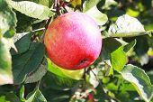 Apple Tree With One Red Apple At Orchard Farm Garden On Sunny Summer Day. Fresh Organic Red Apples G poster