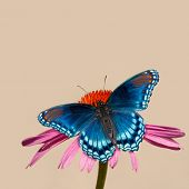 Painterly image of a Red-spotted Purple Admiral butterfly on Purple Coneflower, against light backgr