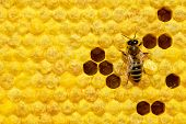Macro Photo Of Honey Bee On A Honeycomb With Bee Larvae. Reproduction Of Bees. Bees Broods. poster