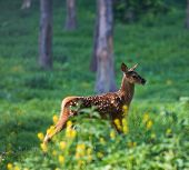 Fallow Deer Fawn, Dama Dama, Walking And Foraging In Sunrise Light And Sunrays In A Green Forest Dur poster