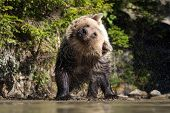 Bear (ursus Arctos) In Lake poster