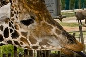 Closeup Of A Giraffe Head