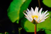 White Lotus Or Water Lily Closeup With Blue Dragonfly On The Water After Rain In Garden poster
