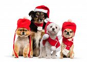 Group of dogs sitting and wearing a red bonnet, Chihuahua wearing christmas hat and scarf, in front  poster