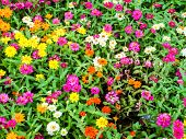 The Zinnia Flower A Plant That Is Grown In Gardens For Its Brightly Colored Flowers poster