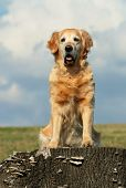 Golden retriever sitting on stub of tree
