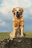 Golden retriever sitting on stub of tree