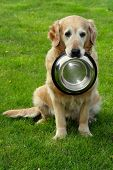 Golden retriever and shiny bowl on granule