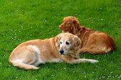 My dog   - Golden retriever and  Nova Scotia Duck Tolling retriever