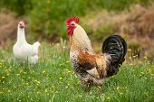 rooster and hens on the green grass