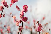 nature, botany, gardening and flora concept - close up of beautiful sakura tree blossoms poster
