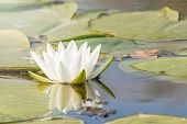 White Water Lily On Water Surface. Water Lily Reflection In Water. poster