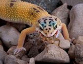 Leopard Gecko Eating Cricket