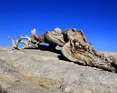 Jeffrey Pine on Sentinel Dome